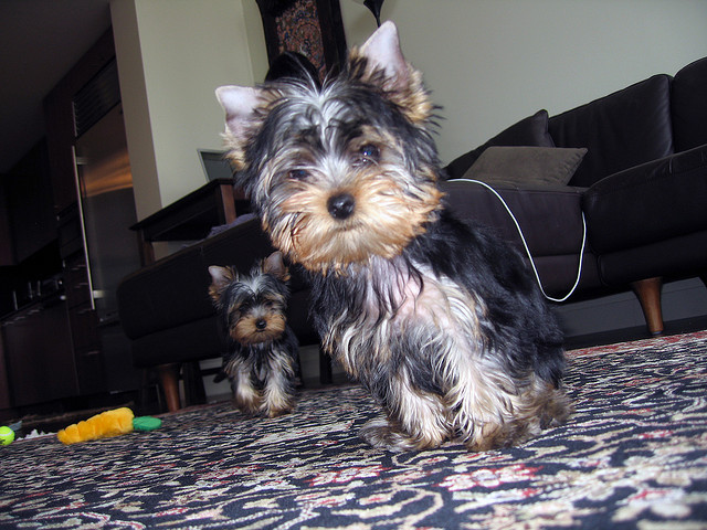 lovely Yorkie puppies for sale-Pets-Dogs-Delhi
