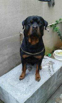 male Rottweiler for mating-Pets-Pet Services-Bangalore