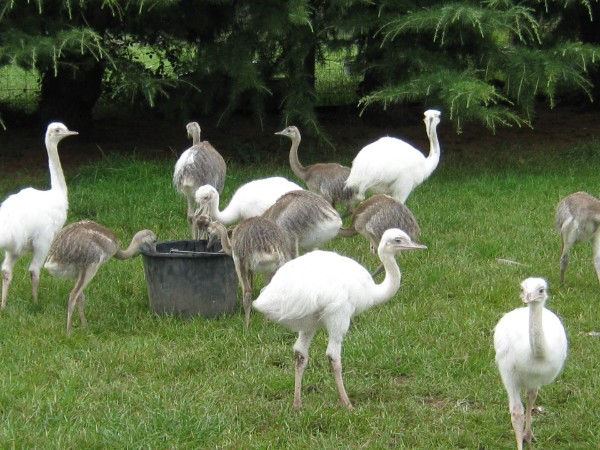 Ostrich/ Emu/rhea & eggs -Pets-Birds-Hyderabad