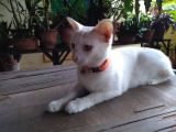 Missing pet cat in Mangalore-Pets-Cats-Mangalore