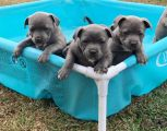 Staffy Puppies for sale-Pets-Dogs-London
