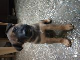 Please provide a loving home to this little sweet female pup-Pets-Dogs-Delhi