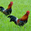 Buy Organic Country Chicken in Hyderabad-E-Market-Health & Beauty-Health Care-Hyderabad