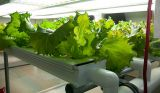 Buy Organic Fruits and Vegetables Online - Hydroponic Planti-Services-Lawn & Garden Services-Hyderabad