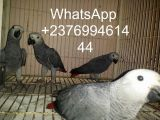 African Grey Parrots for sale whatsapp-Pets-Birds-Agra