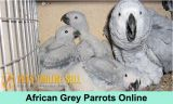 Buy African Grey Parrots Online - Pets Online Sell-Pets-Birds-Austin
