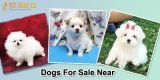 Dogs For Sale Near Me - PetsOnlineSell.com-Pets-Dogs-Austin