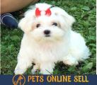Find Puppies For Sale - Pets Online Sell-Pets-Dogs-Austin